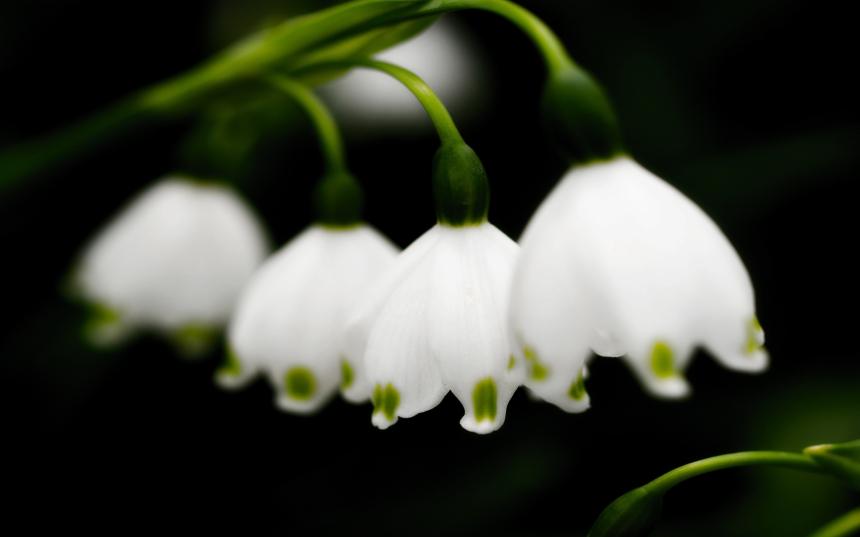 White_Lilies_2560x1600_173